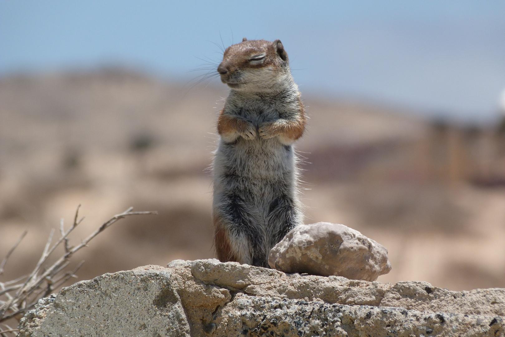 """""""Streifenhörnchen auf Fuerteventura"""""""