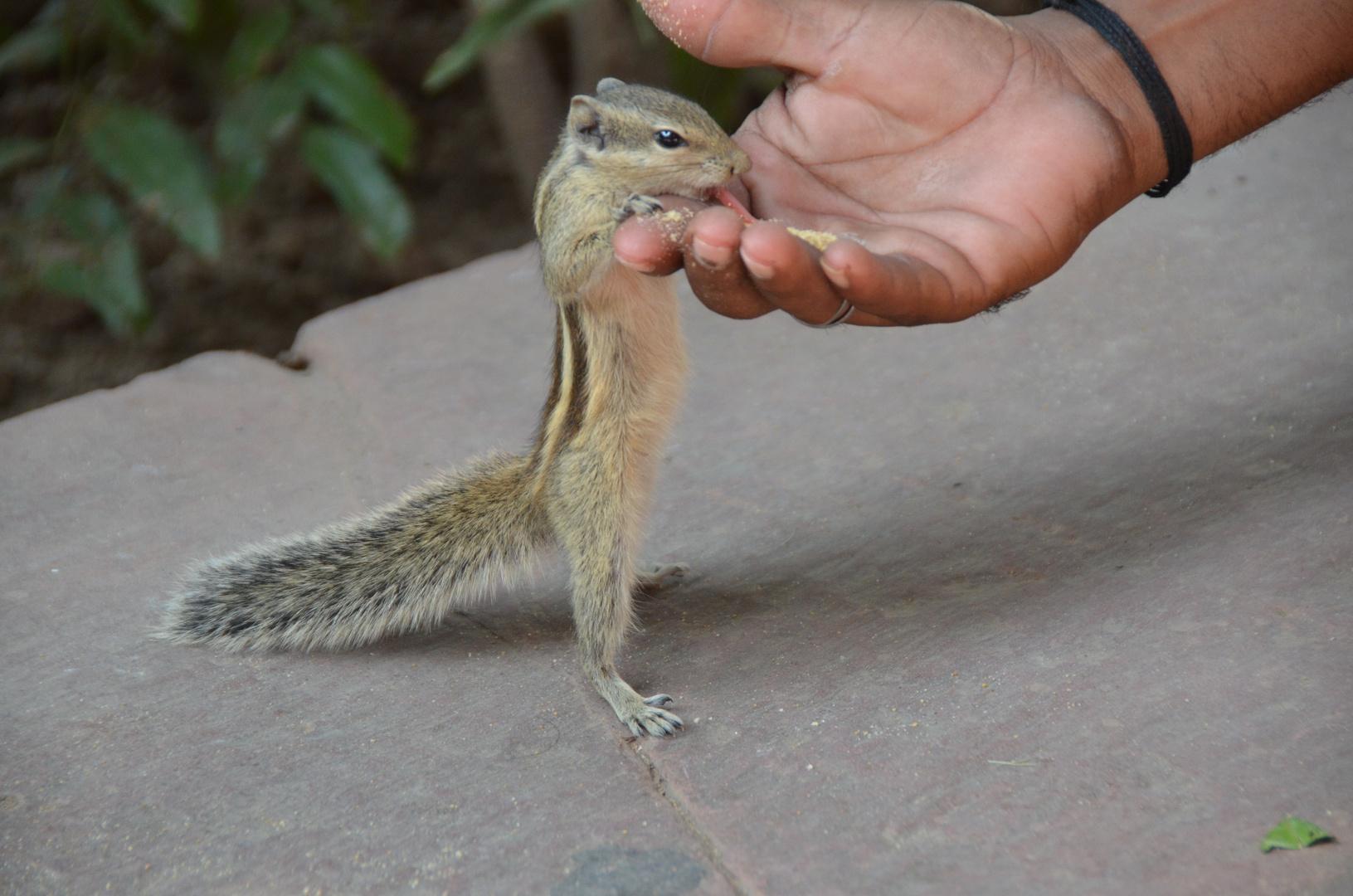 Streifenhörnchen-Fütterung