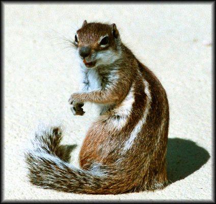 Streifenhörnchen ganz gross