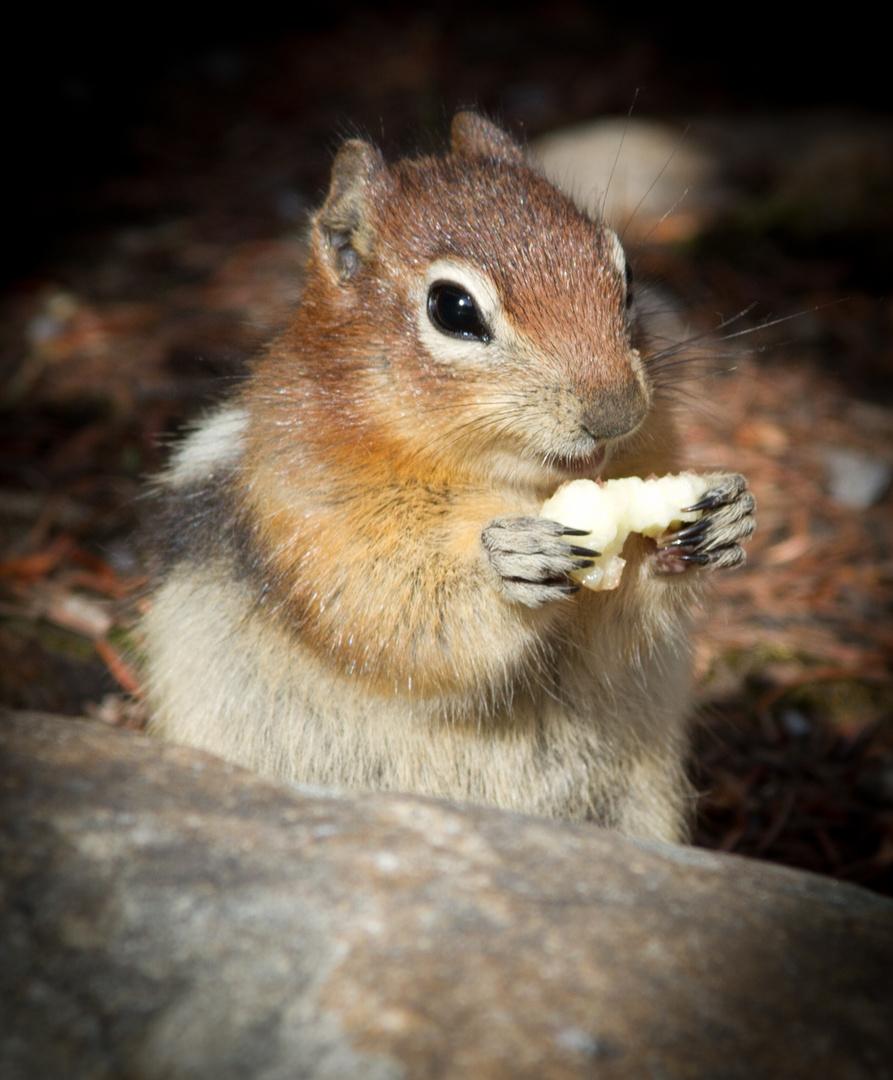 Streifenhörnchen Kanada