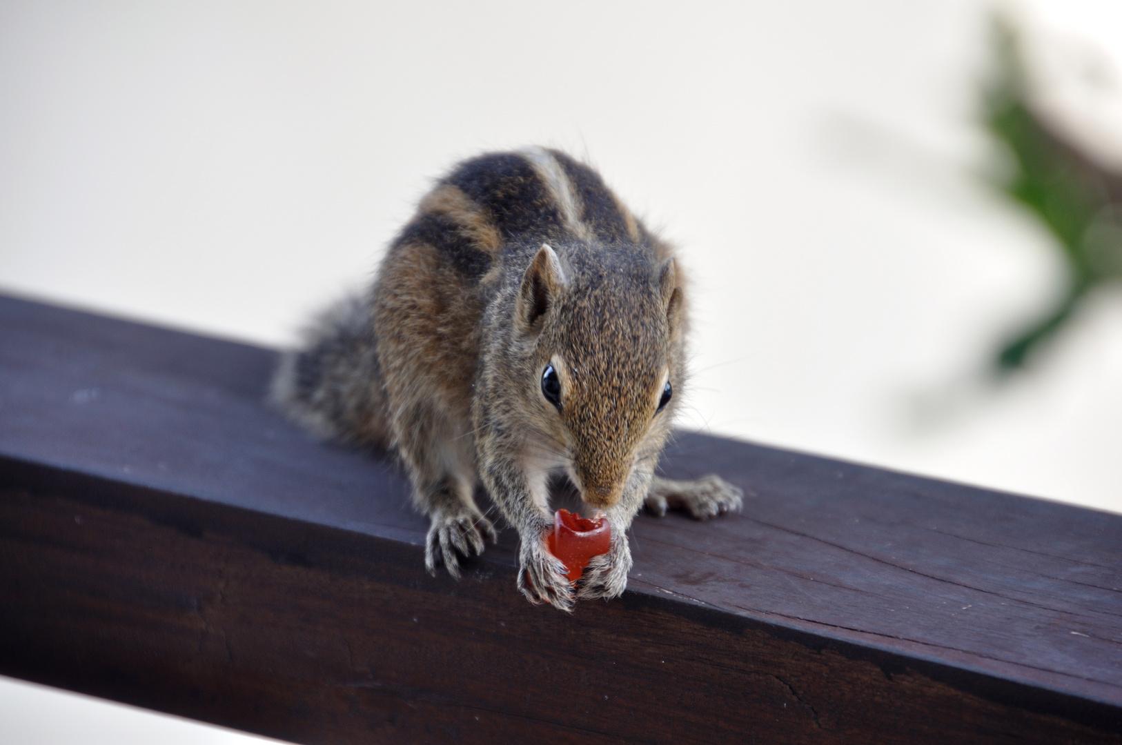 Streifenhörnchen mit Gummibärchen #2