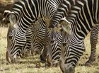 Streifenparade im Samburu WR