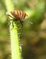 Streifenwanze Graphosoma lineatum