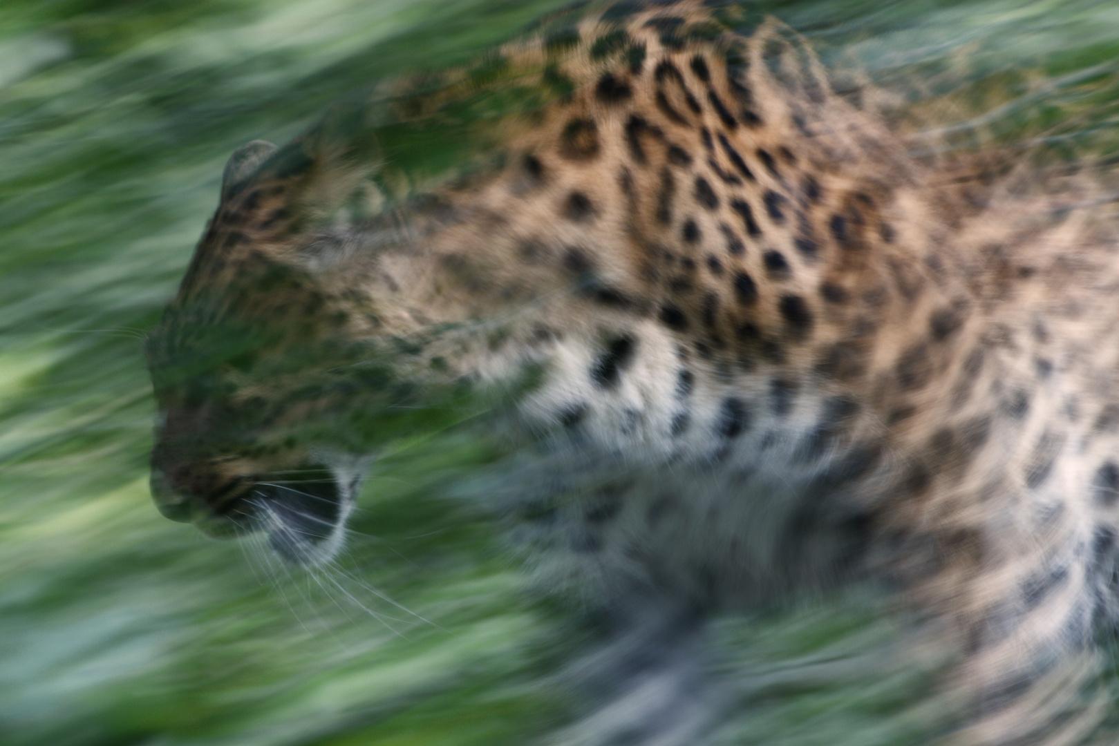 Streifzug eines Chinesischen Leoparden