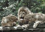 Streit bei Lion's