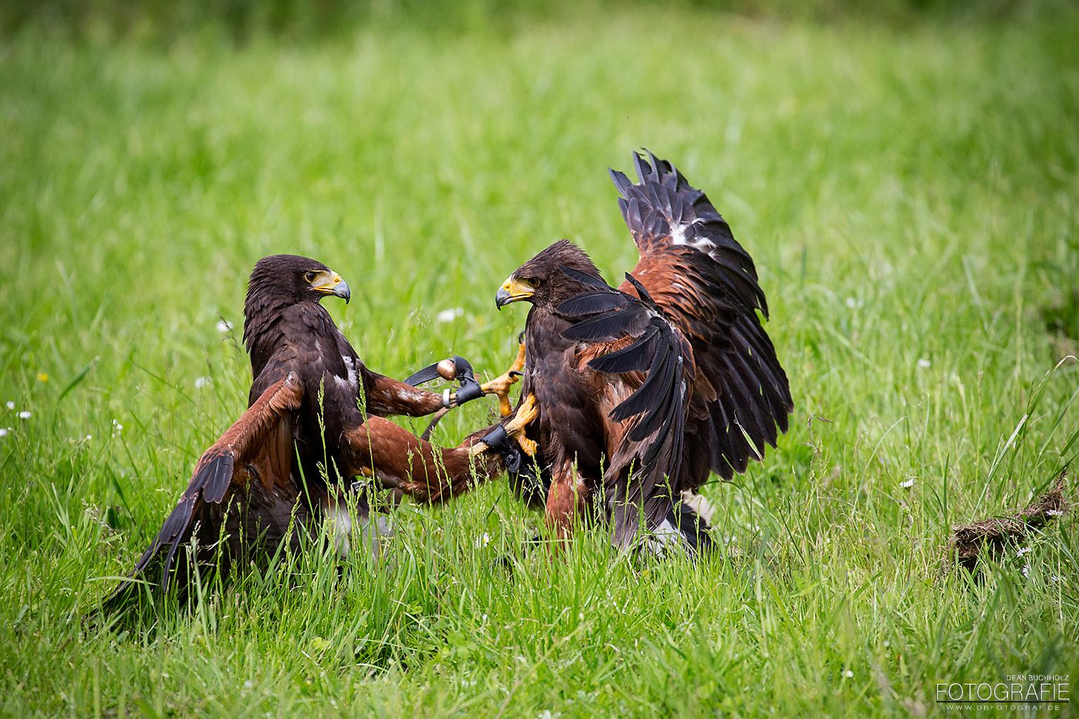 Streit der Vögel
