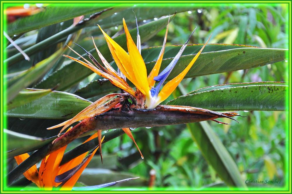 Strelitzia reginae en sueur