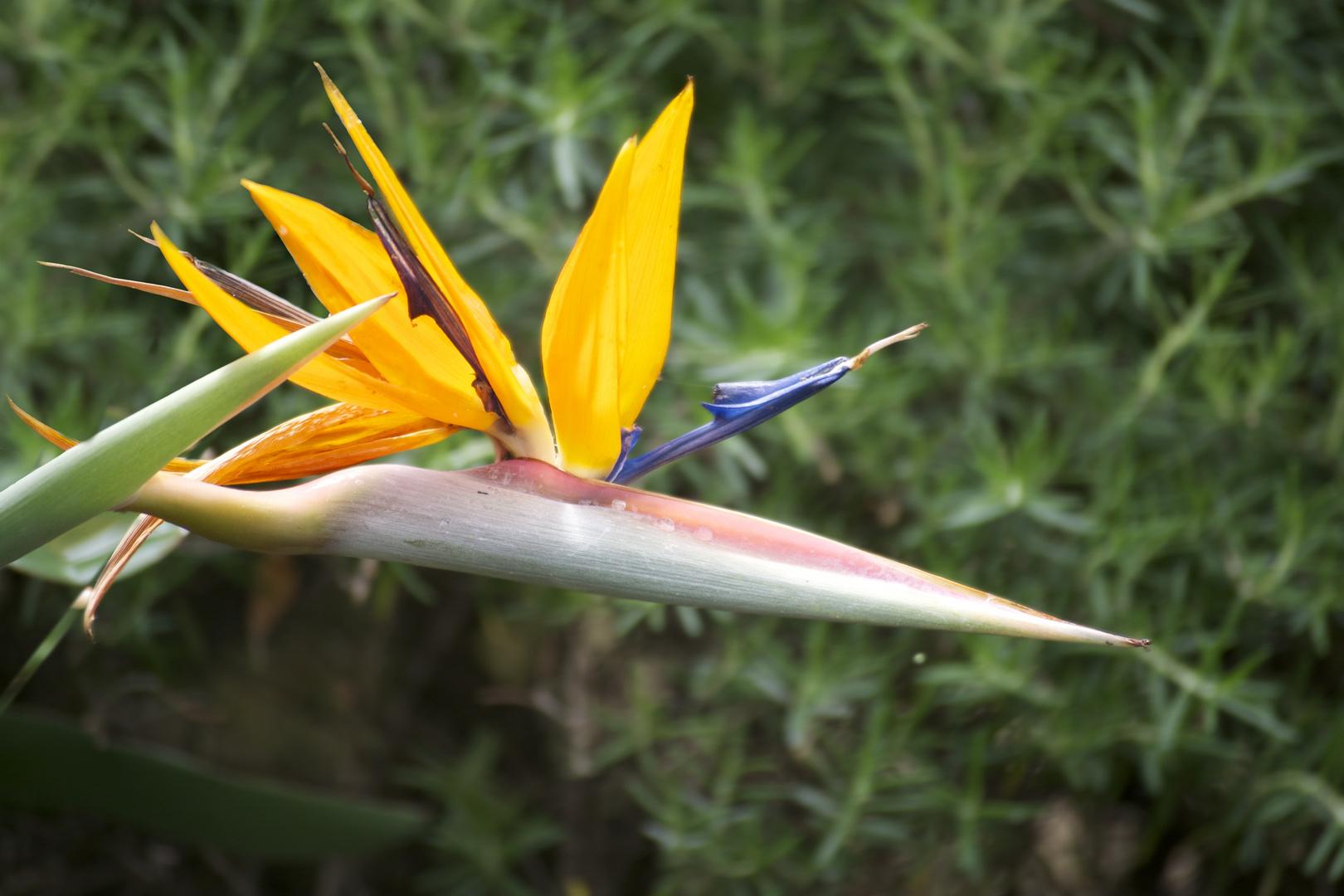 strelitzie reginae - Praradiesvogelblume