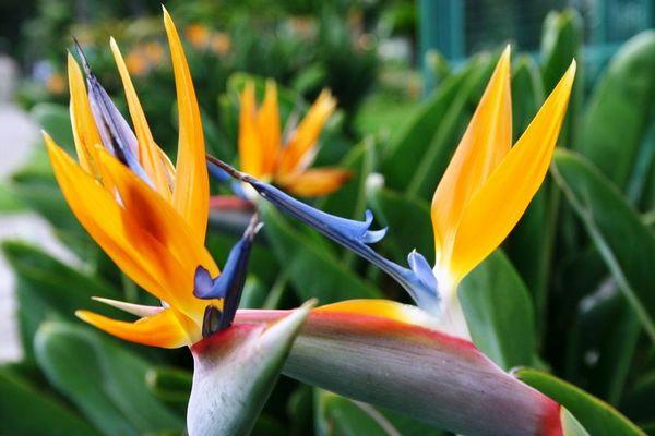 Strelizie im Stadtpark von Funchal
