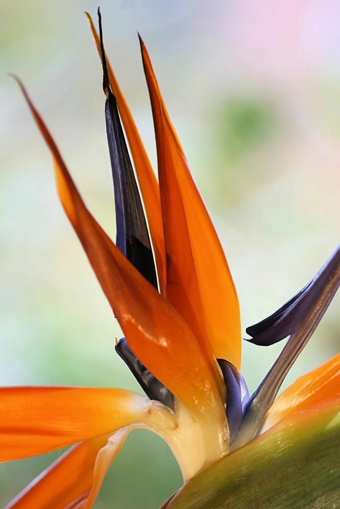 Strelizie - Strelitie - strelitzia reginae