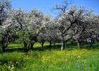 Streuobstblüte am Bodensee