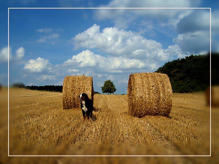 Strohballen mit Hund