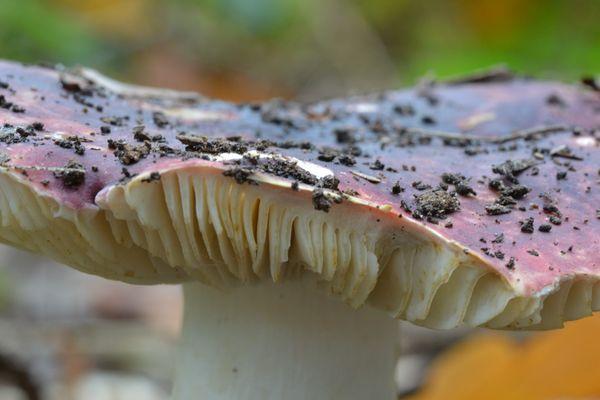 Structure d'un champignon