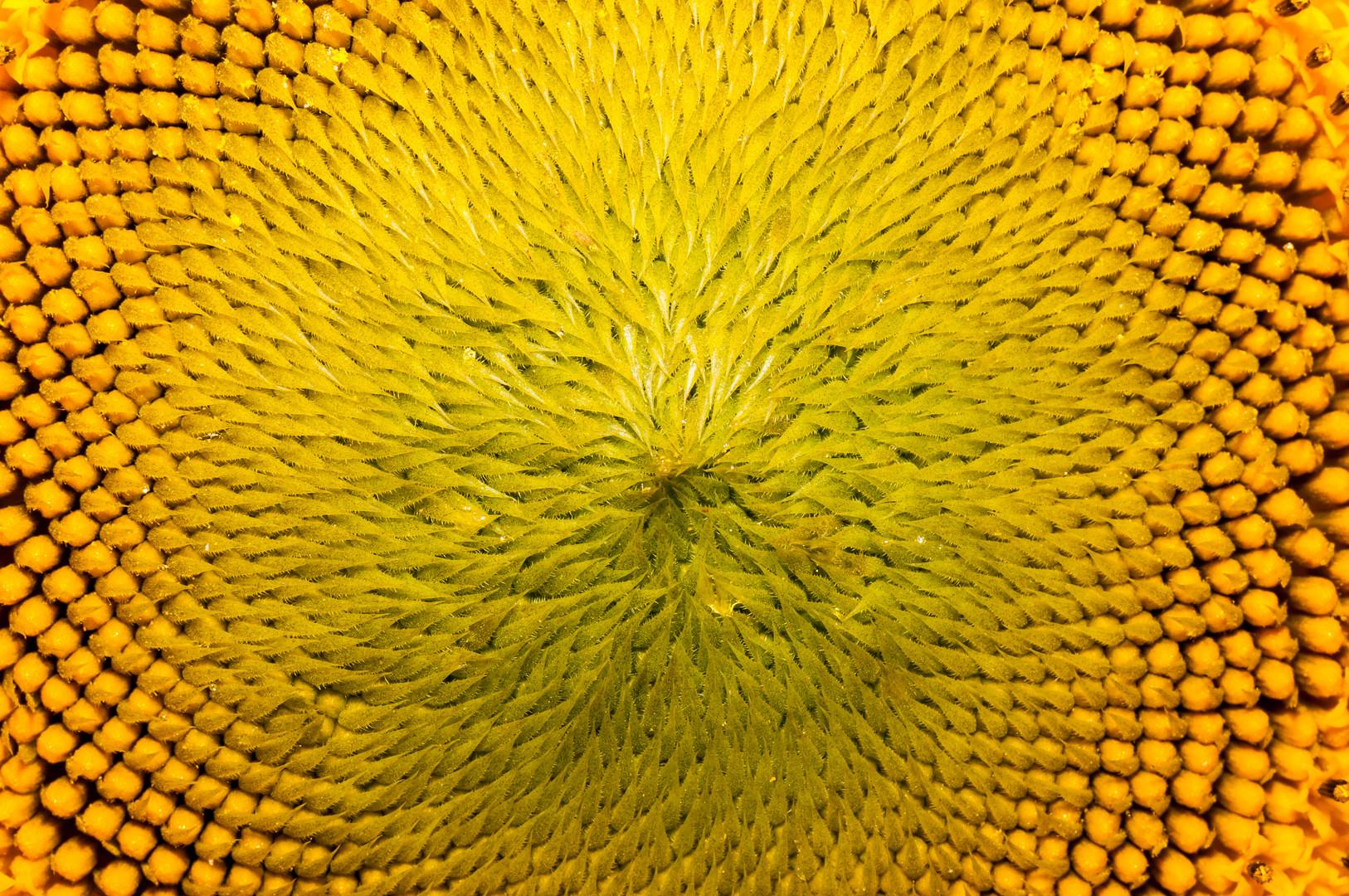 Struktur einer Sonnenblume