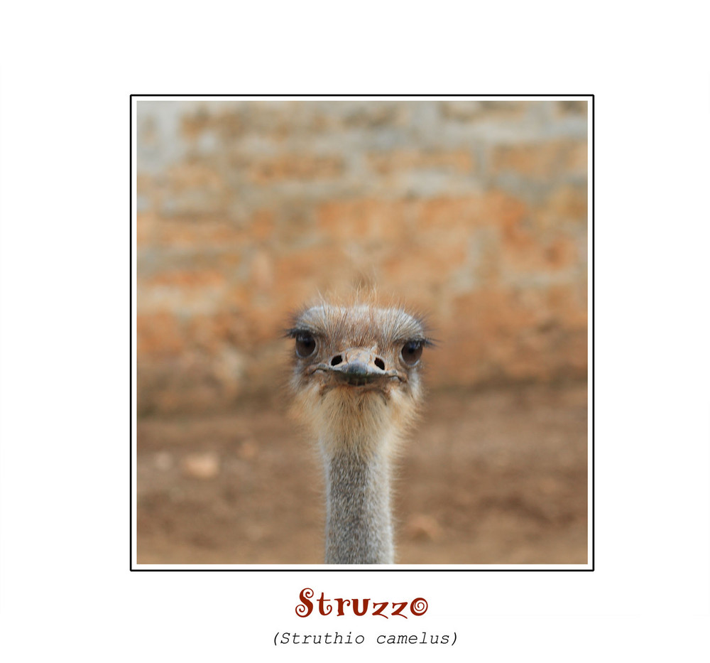 Struzzo