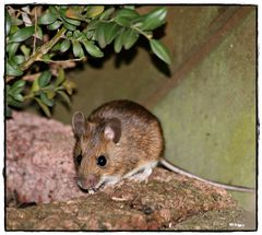 """ Stuart Little"" in unserem Garten...."
