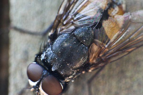 Stubenfliegenmakro