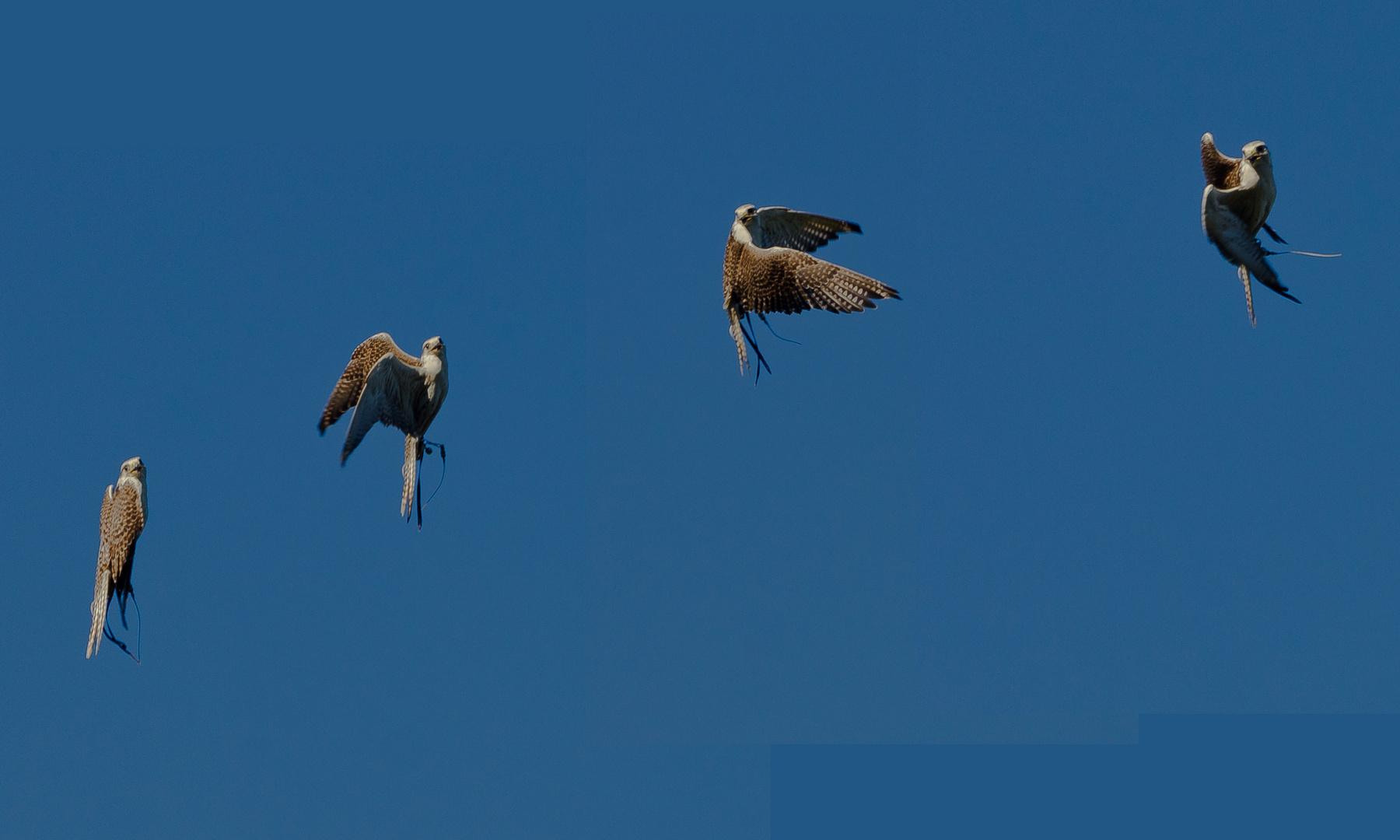 Studie eines Falkenfluges