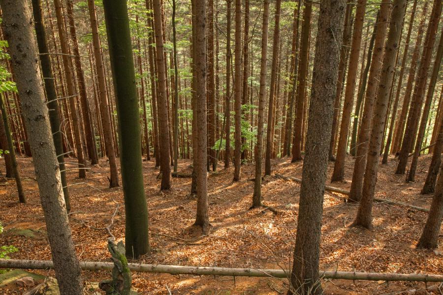 Stürzende Linien im Fichtenwald