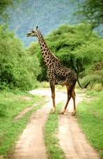 Sture Giraffe