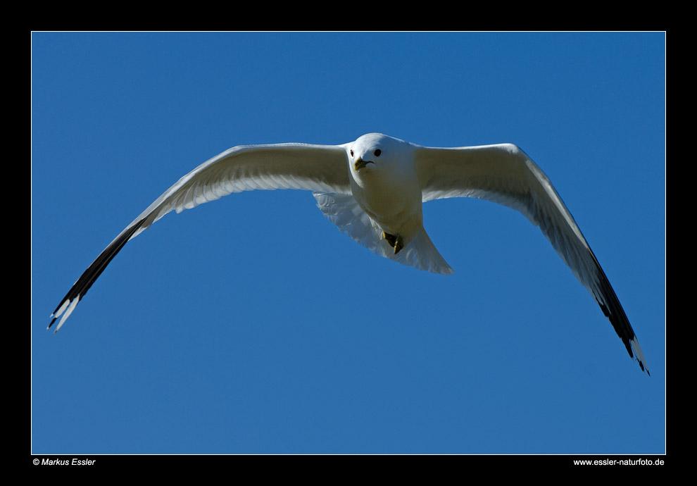 Sturmmöwe im Flug • Insel Texel, Nord-Holland, Niederlande (21-21422)