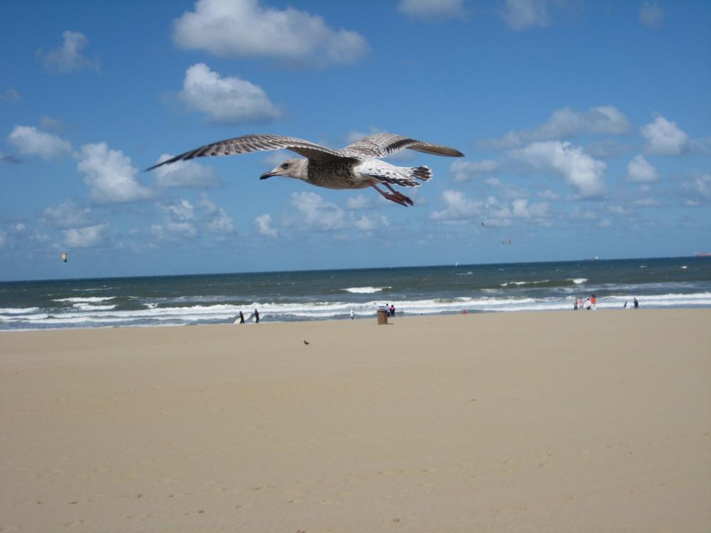 Sturzflug am Scheveninger Strand