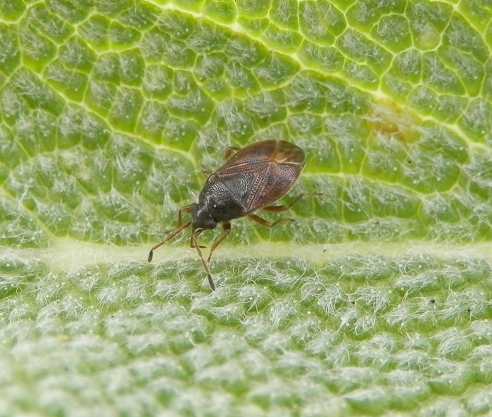 Stygnocoris sabulosus (?)