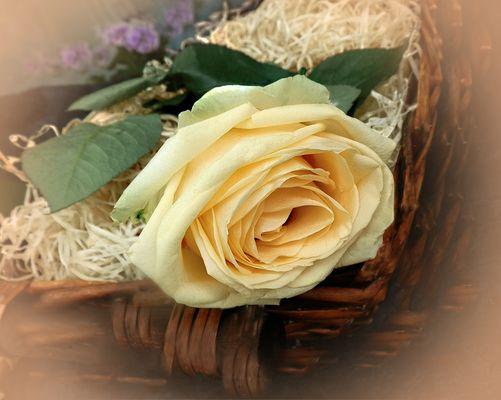 Suave   emocion   con una rosa