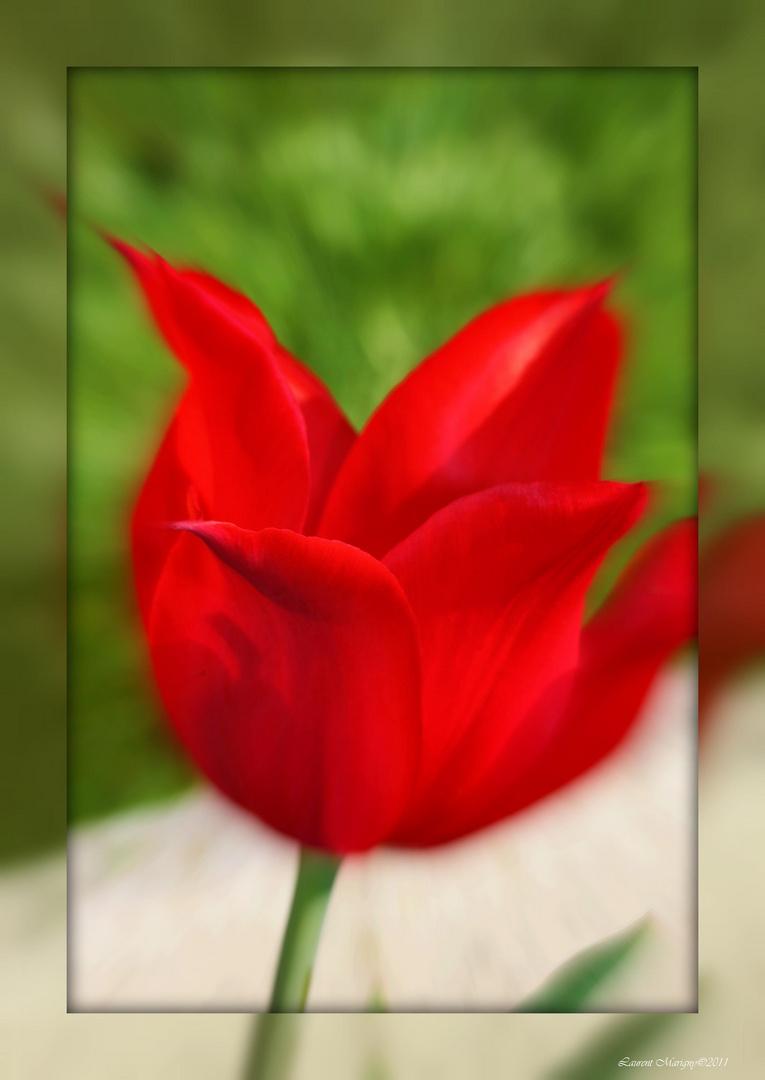Sublime tulipe.