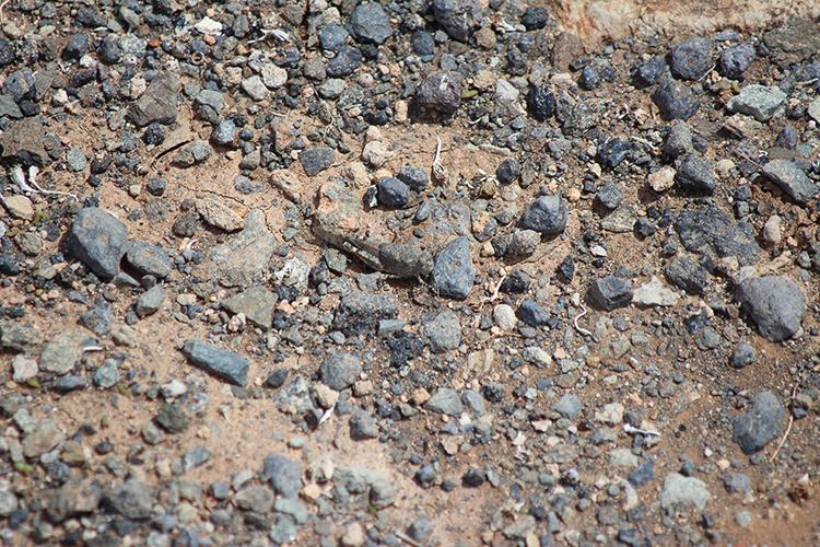 Suchbild - Afrikanische Wanderheuschrecke