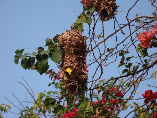 Sucrier dans son nid