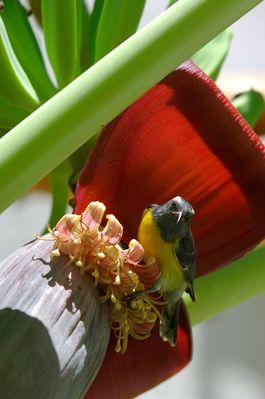 Sucrier - Sugar Bird