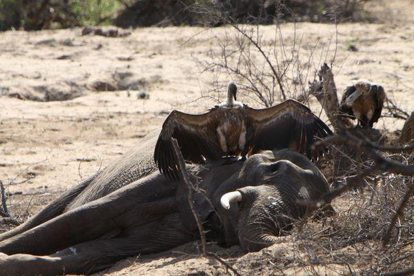 Südafrika Krüger Nationalpark: Nun ist der Elefant leider tot :-(