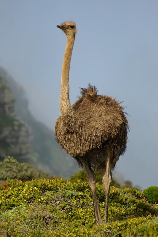 Südafrikanischer Strauß