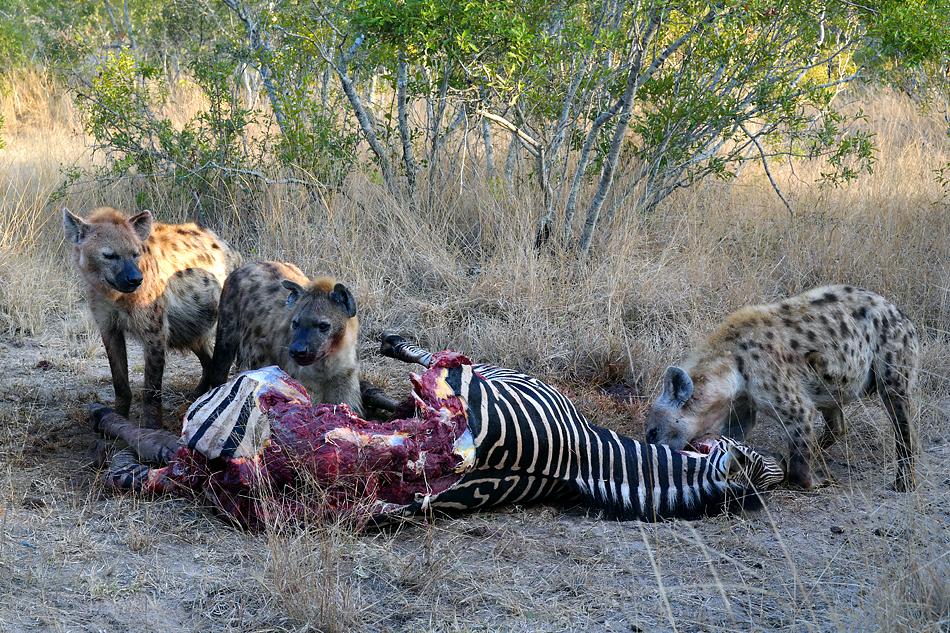 Südafrikas Tierwelt 2014 Hyänen beim Zebra Frühstück