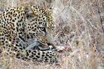 Südafrikas Tierwelt 2014 Leopard