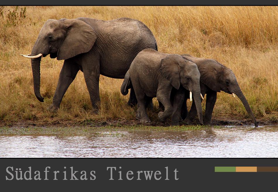 Südafrikas Tierwelt – Die Elefantenfamilie am Wasser…..