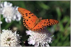 Südamerika Schmetterling