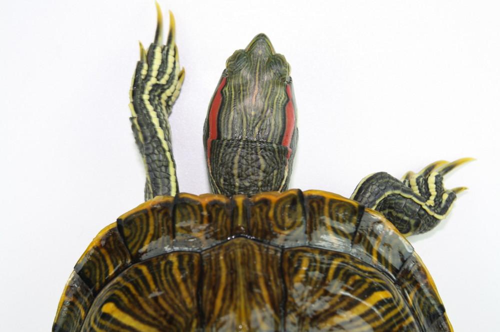 Südtexanische Rotwangen-Schmuckschildkröte von oben