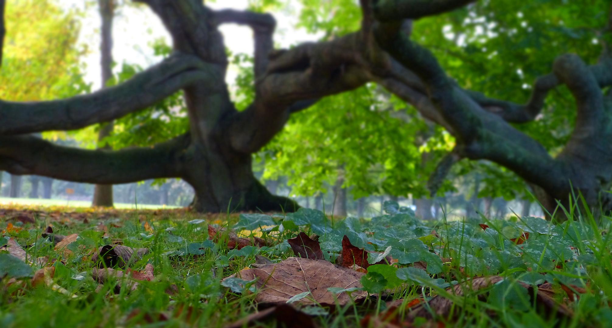 Süntel - Buche im Herbst