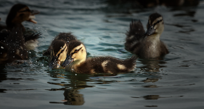 Süße Entenküken schwammen direkt vor meiner Lines