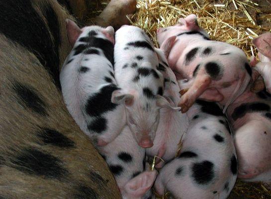 Süsse Schweinebande!!!