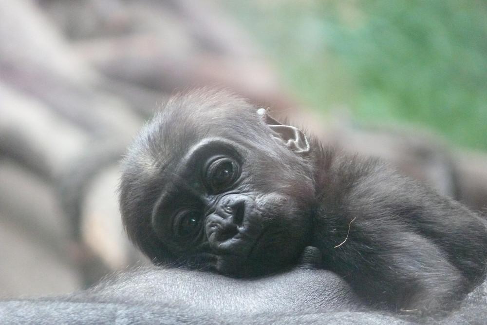 süßes Gorillababy