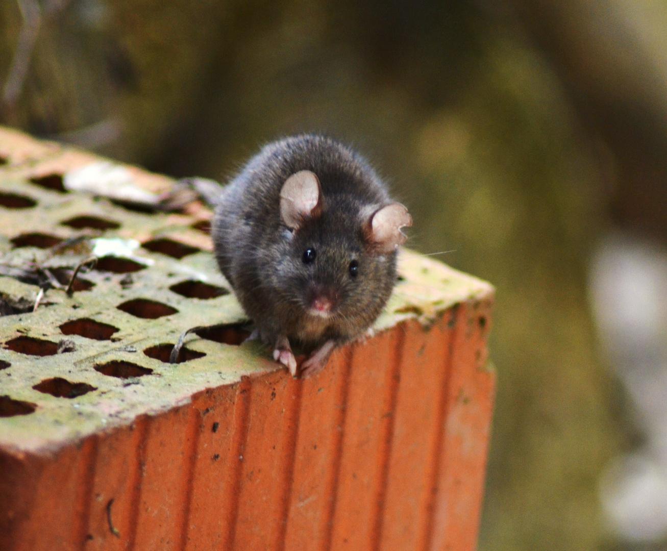 Süßes Mäuschen schaut nach dem Frühling!