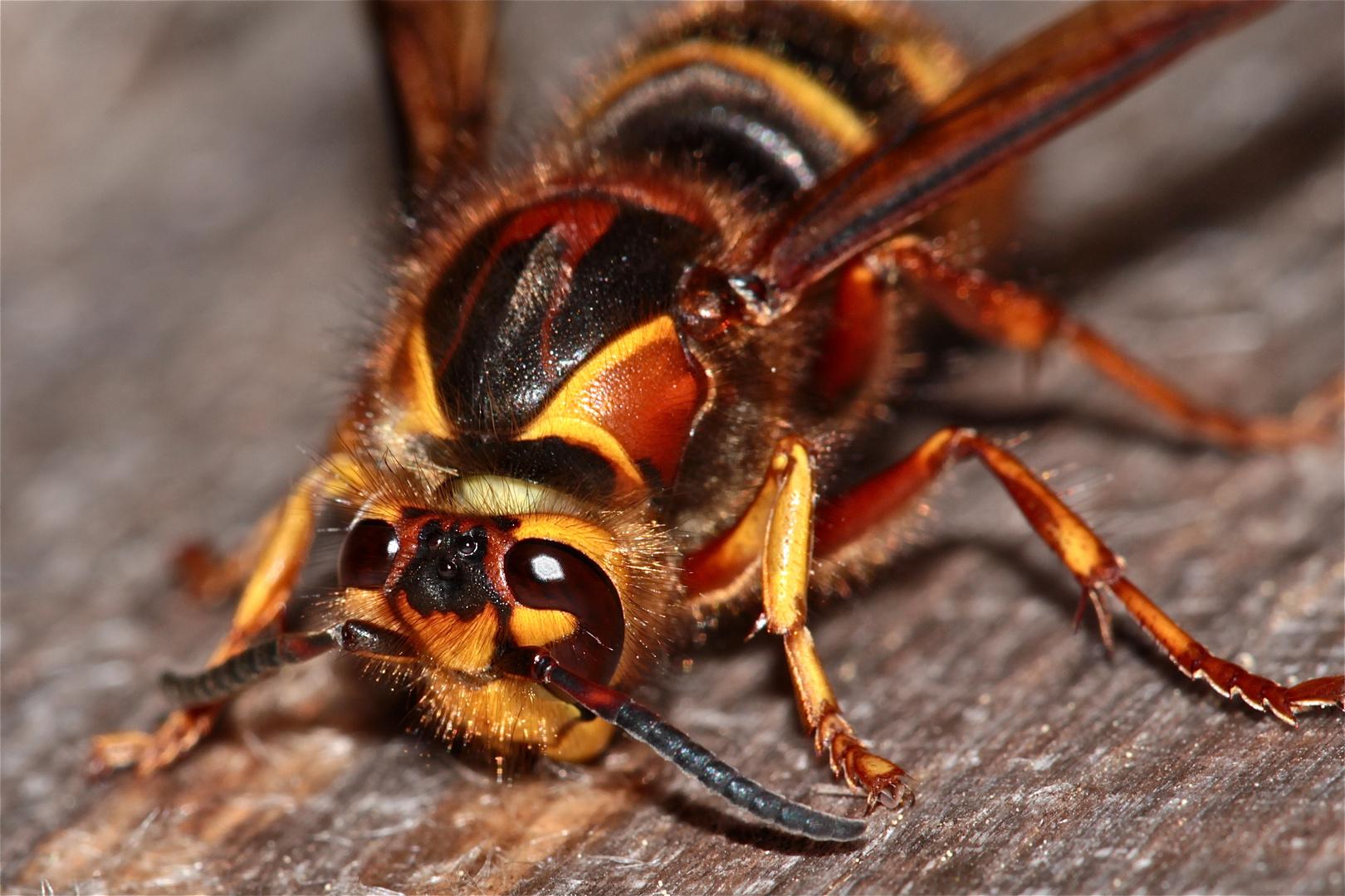 Süßholz raspeln wird sie nicht, die Hornisse (Vespa crabro) - eher Fichte (-: !