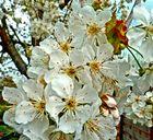Süsskirschenblüten
