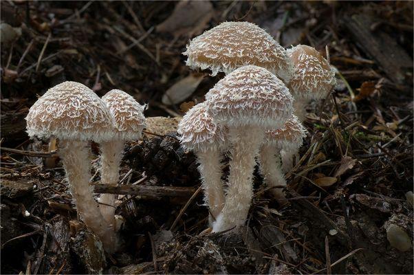 Süßriechende Faserling (Psathyrella sacchariolens)