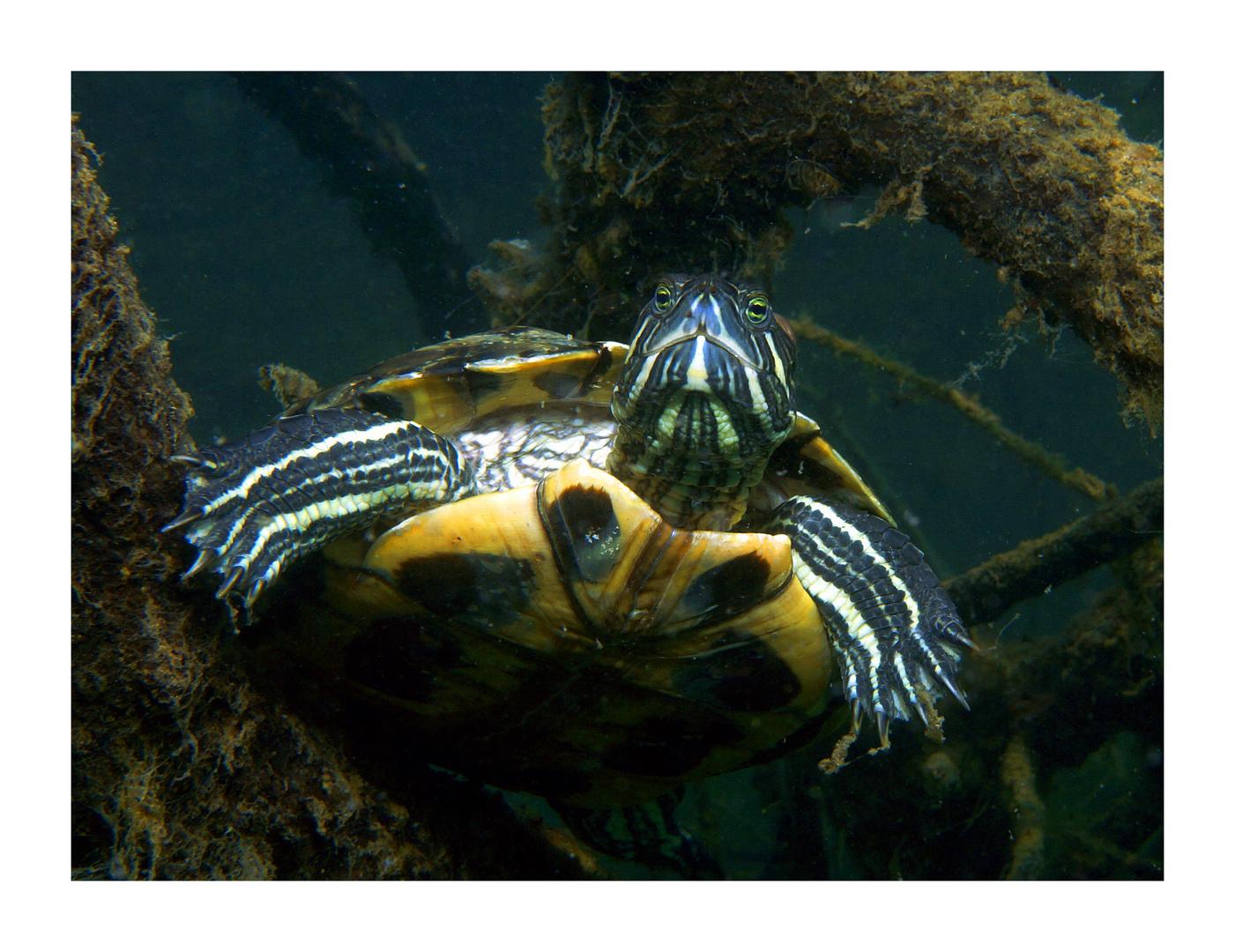 Süsswasserschildkröte II