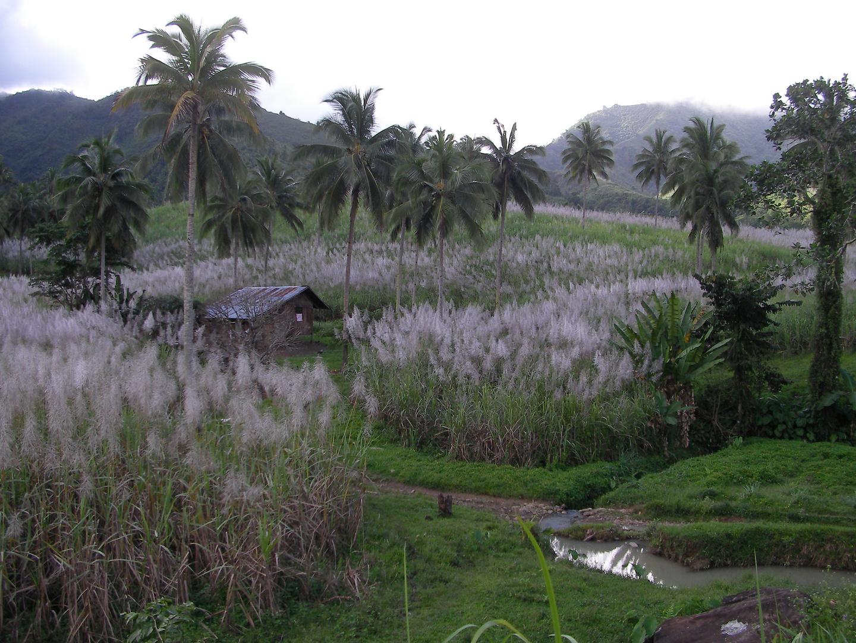 sugar cane field (Zuckerrohr)