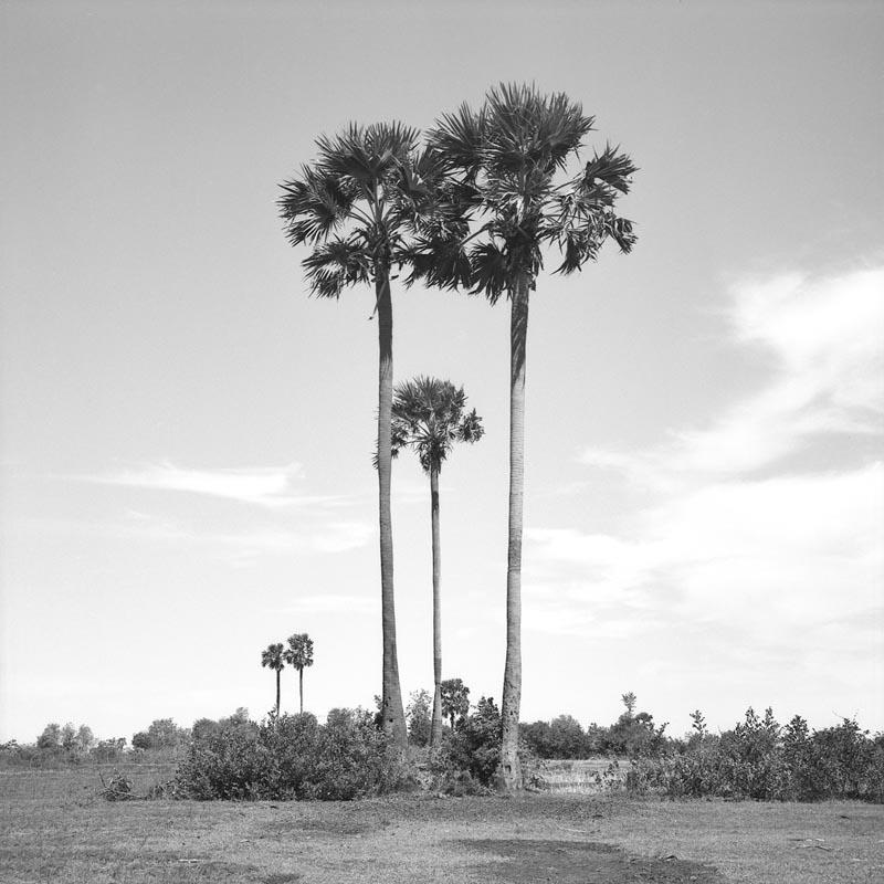 Sugar Palm-Trees